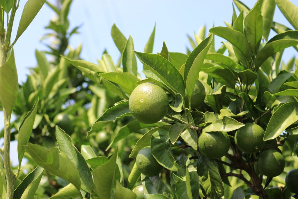 果実の育成状況